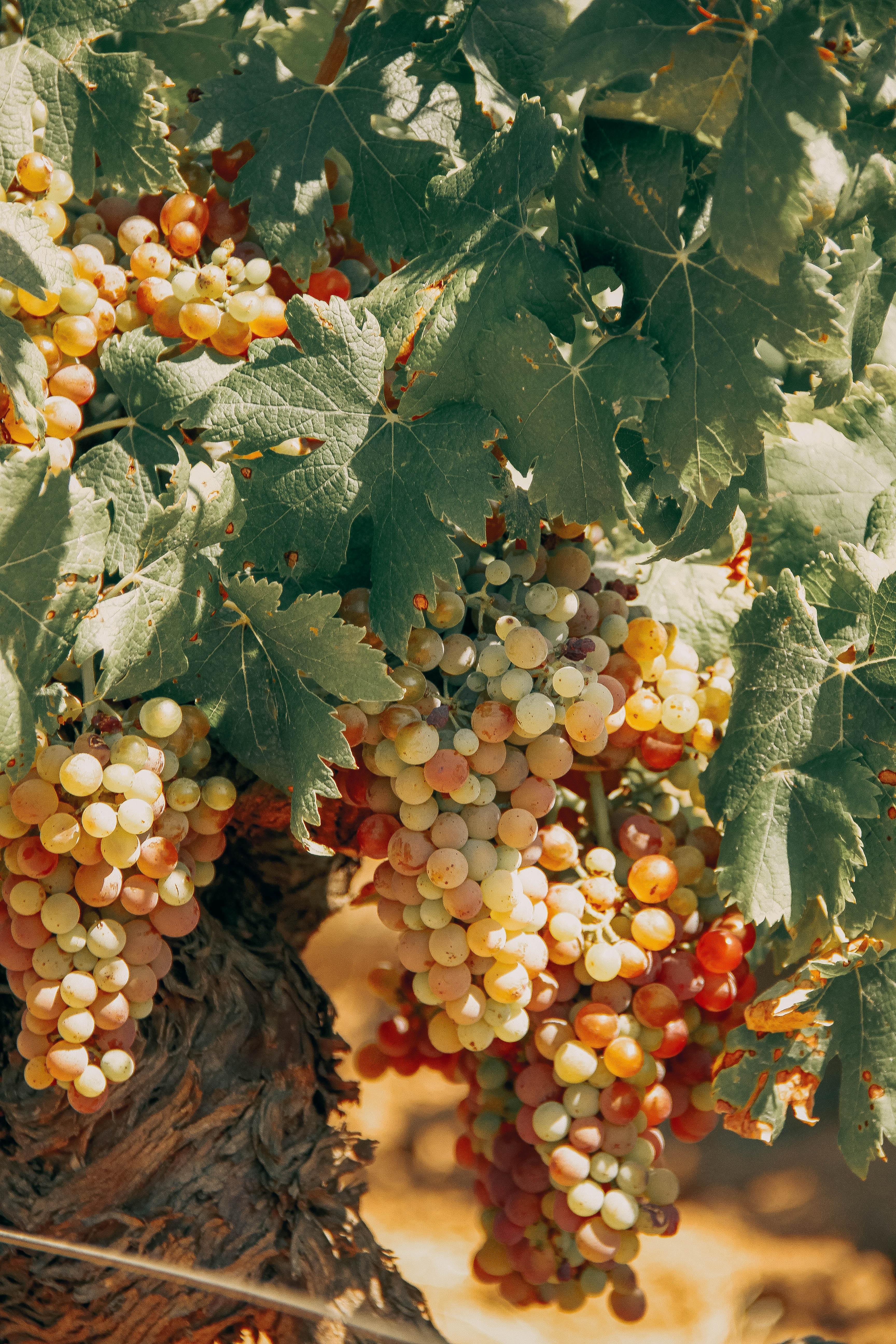 Vite con grappoli di uva